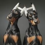 Купирование ушей и хвоста у собаки