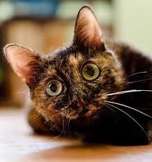 Мейнкуны кошки и котята в Екатеринбурге  Фото и цены