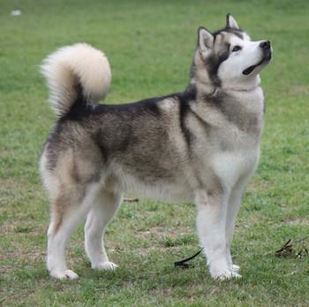 маламут фото собака