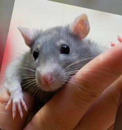 Заводим крысу