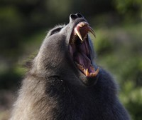 бабуин сердится