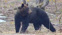 медведь проснулся