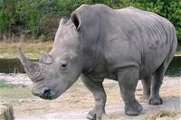 северный белый носорог