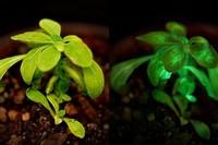 светящиеся растения