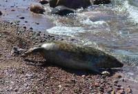 свободный тюлененок
