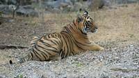 тигр Устин