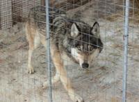 волк охранял героин