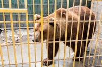 медведь из Гоара
