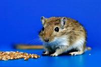 прыгучая мышь