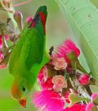 висячий попугай