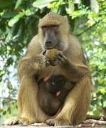 бабуин обедает