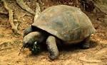 черепаха багатур