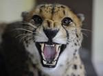 сердитый гепард