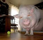свинья в квартире