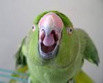 агрессивный попугай
