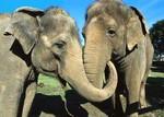 дружба слонов