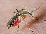 комар с кровью