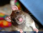 любопытная крыска