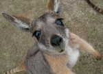 сбежавший кенгуру