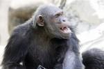 уважаемая шимпанзе