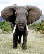 здоровый слон