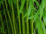 древесный бамбук