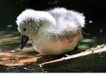 птенец лебедя-шипуна