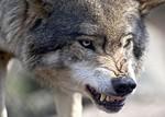 волк в городе