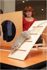 аджилити для крыс