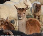 олененок и овцы