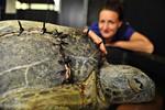 раненая черепаха