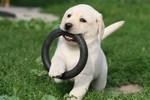 щенок лабрадора