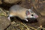 мышка с иголками