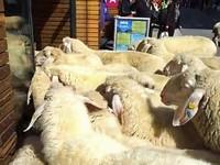 овцы в магазине