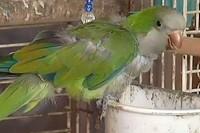 сторожевой попугай