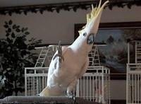 танцующий попугай